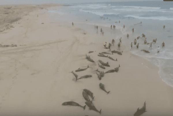 Flere hundrede døde delfiner skyllet i land - nu undersøger forskere sagen