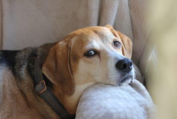 Kræft og hunde: Her er de mest udsatte racer