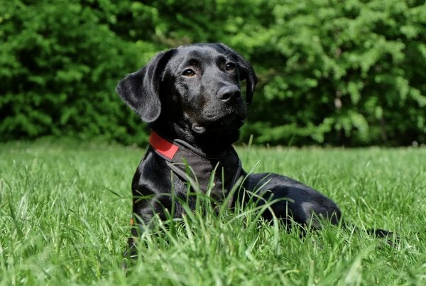 Ejer til sort labrador efterlyses: ''Har til på mandag''