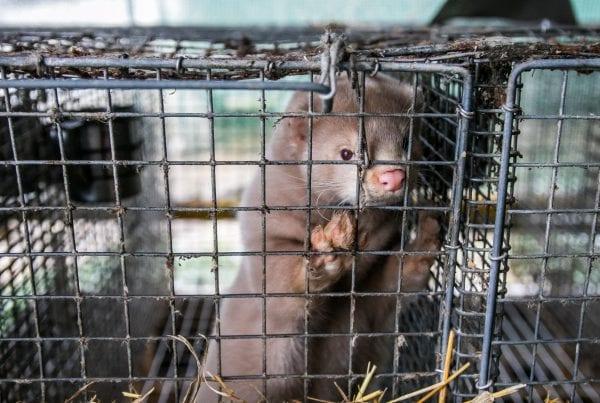 Minkavlere desperate: Har ikke fået kompensation for mink endnu