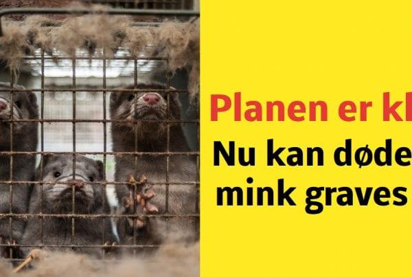 Fødevarestyrelsen: Opgravning af døde mink på plads
