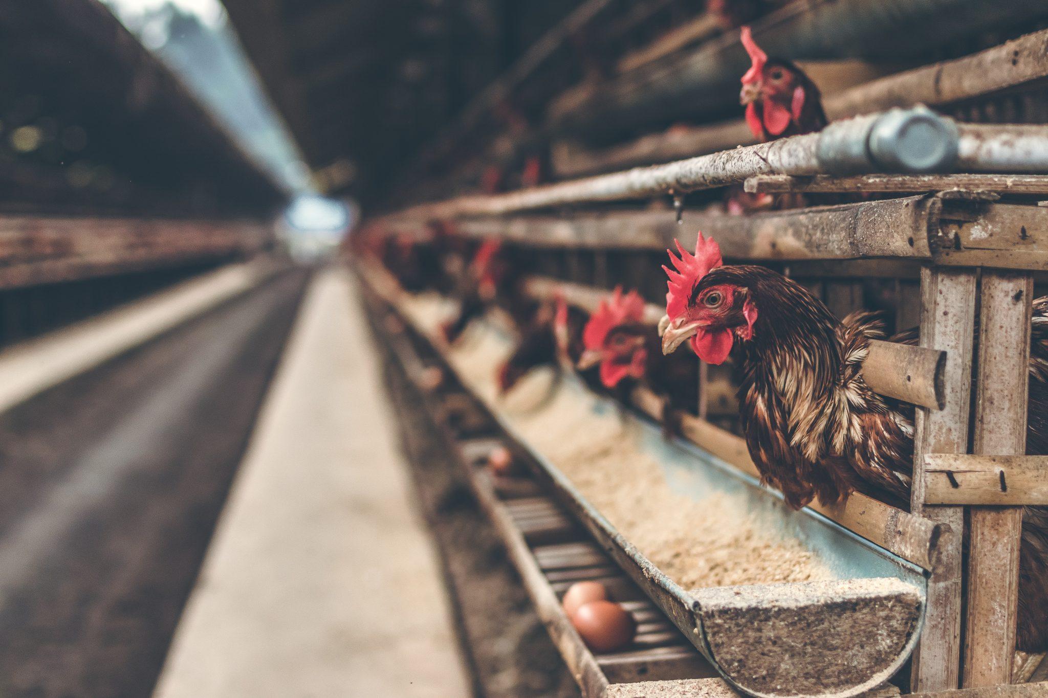 Fugleinfluenzaen breder sig - op mod 100.000 fjerkræ aflivet