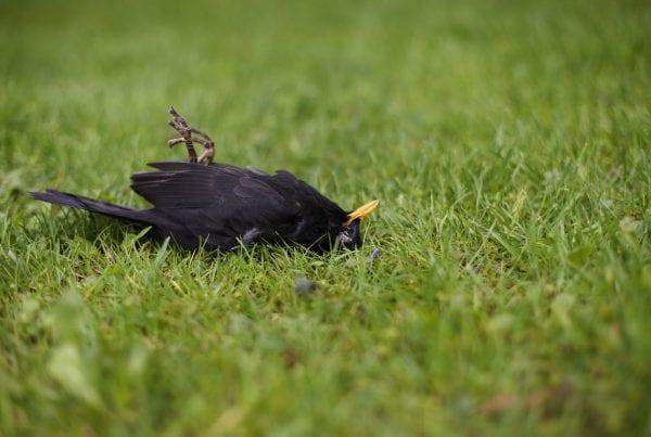 Fugleinfluenza breder sig: Flere fugle fundet døde