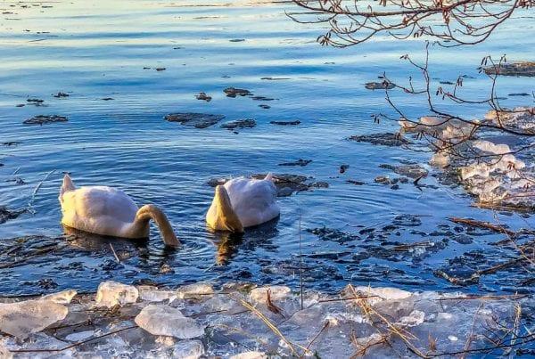 Over 30 svaner fundet døde i Jylland