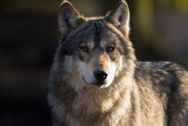 Nu udvides ulveområde i det vestjyske